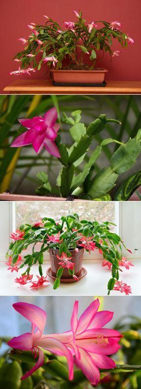 Cuidados para un cactus de navidad gu a completa cactus navidad plantasuncomo - Cuidados planta navidad ...