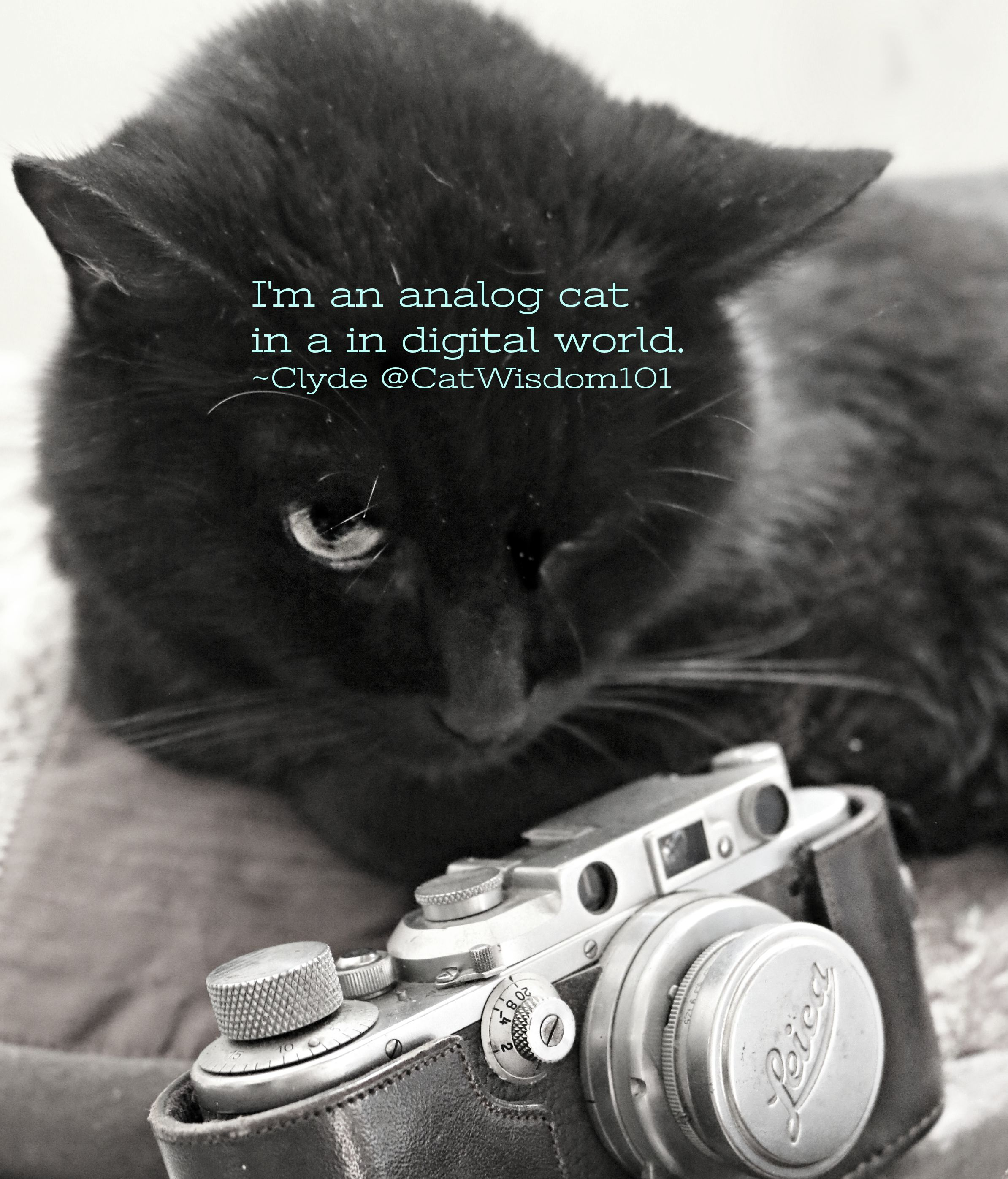 Senior Cat Quotes: Clyde, The Senior Black Cat Blogger's First Gotcha Day