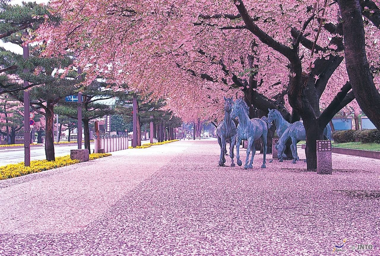 Japanese Cherry Blossoms Cherry Blossom Festival Japan