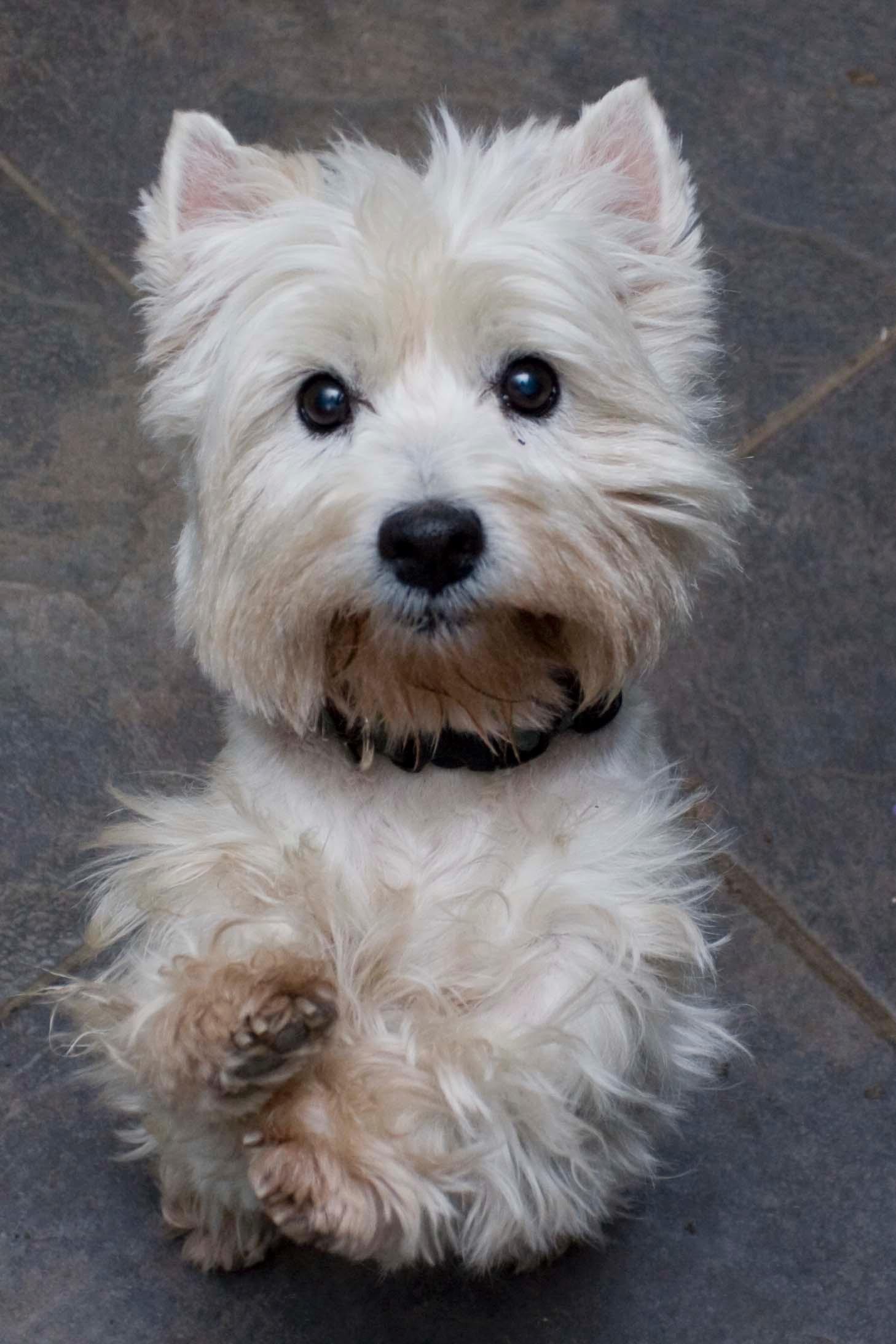 Adopt Karma On Westie Dogs Westie Puppies West Highland Terrier