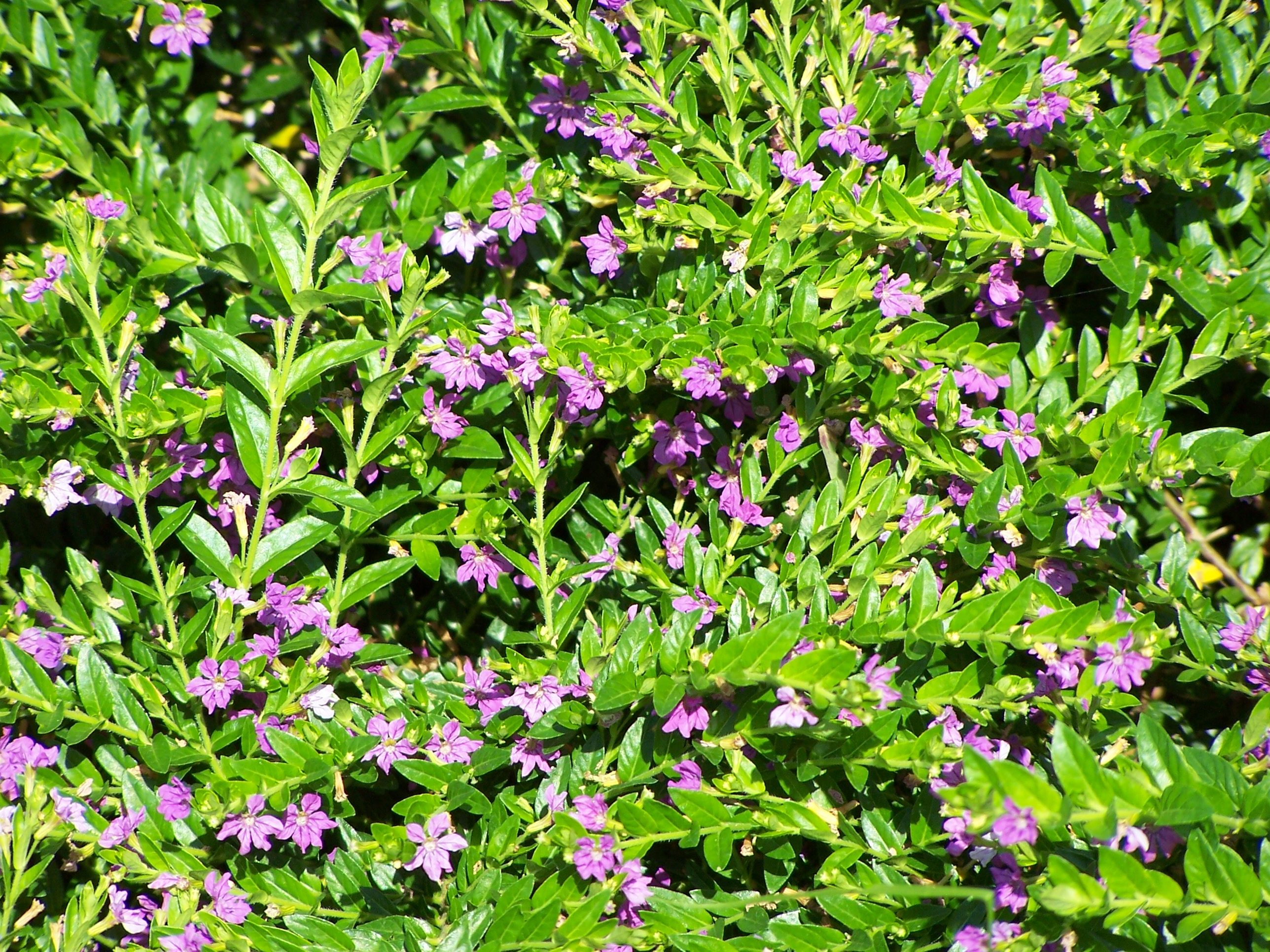 Mexican Heather Is A Good Plant For Containers Or In A Row At The Front Of A Garden Bed Cool Plants Container Plants Annual Color