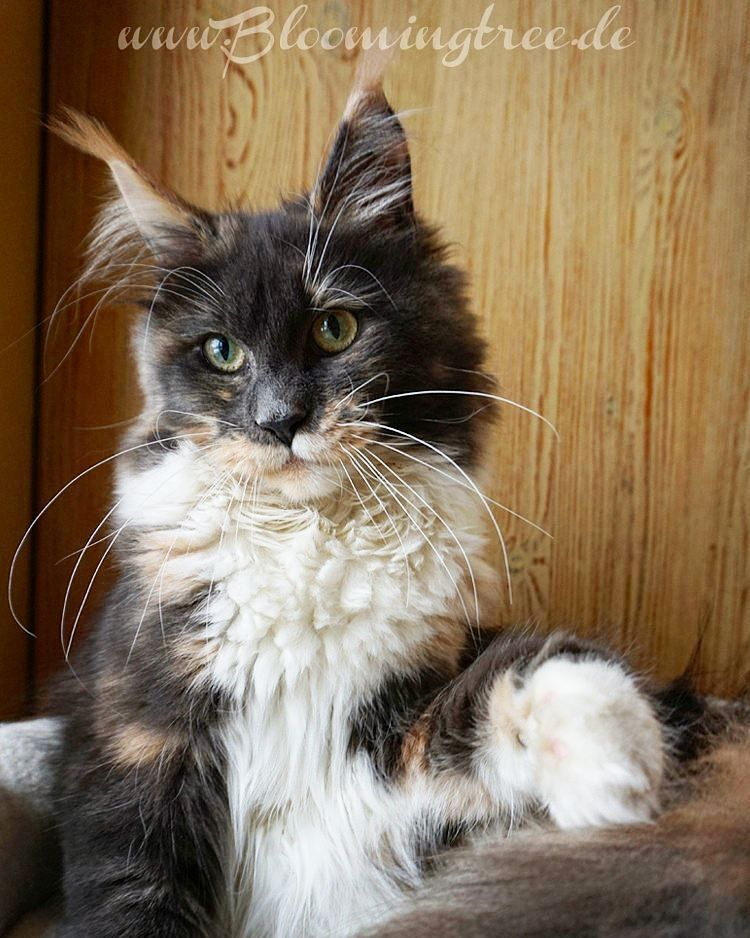 Pin on Maine ️ Coon ️