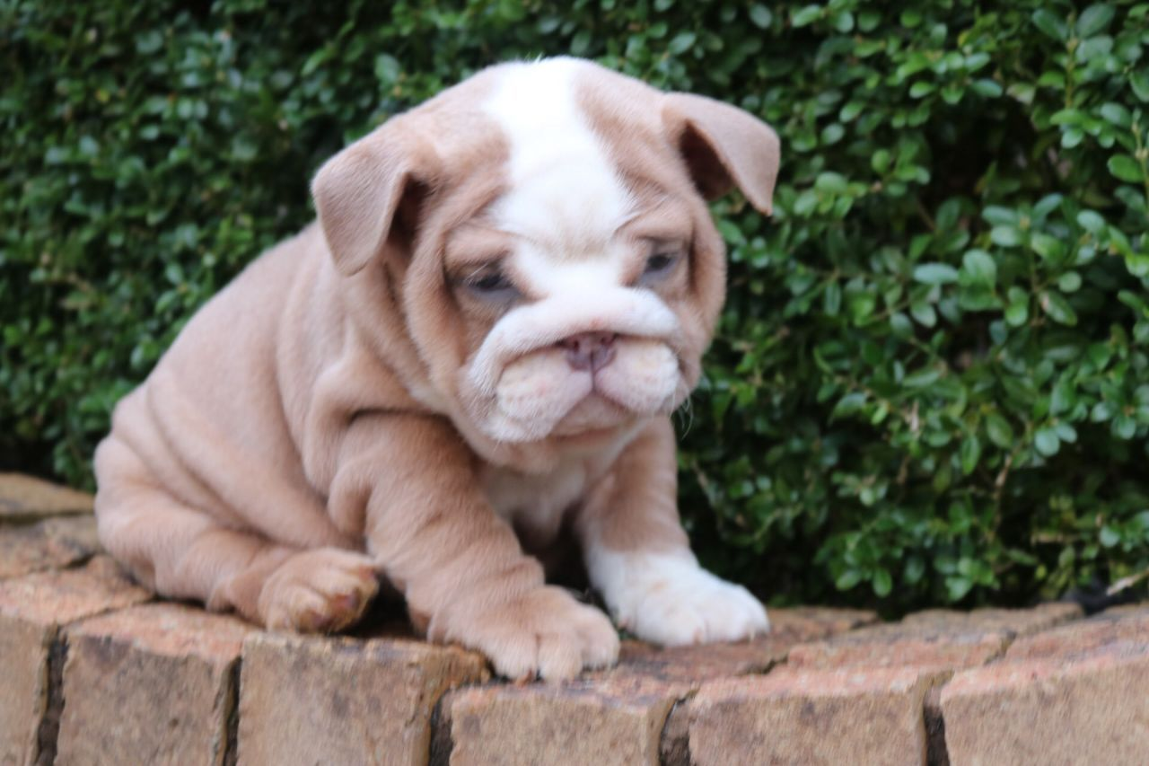 Kc Reg Lilac Tris English Bulldogs English Bulldog Puppies