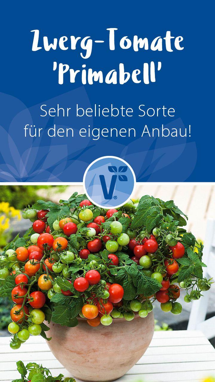 Zwerg-Tomate & # 39; Primabell & # 39;   – Volmary Gemüsegarten – Gemüse im Garten pflanzen!