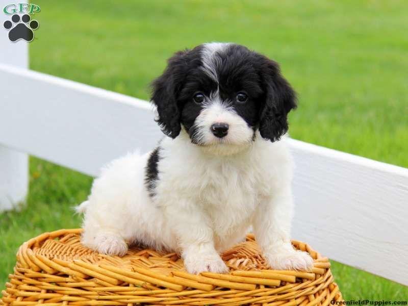 Fineas Cavachon Puppy For Sale From Gordonville Pa Cavachon