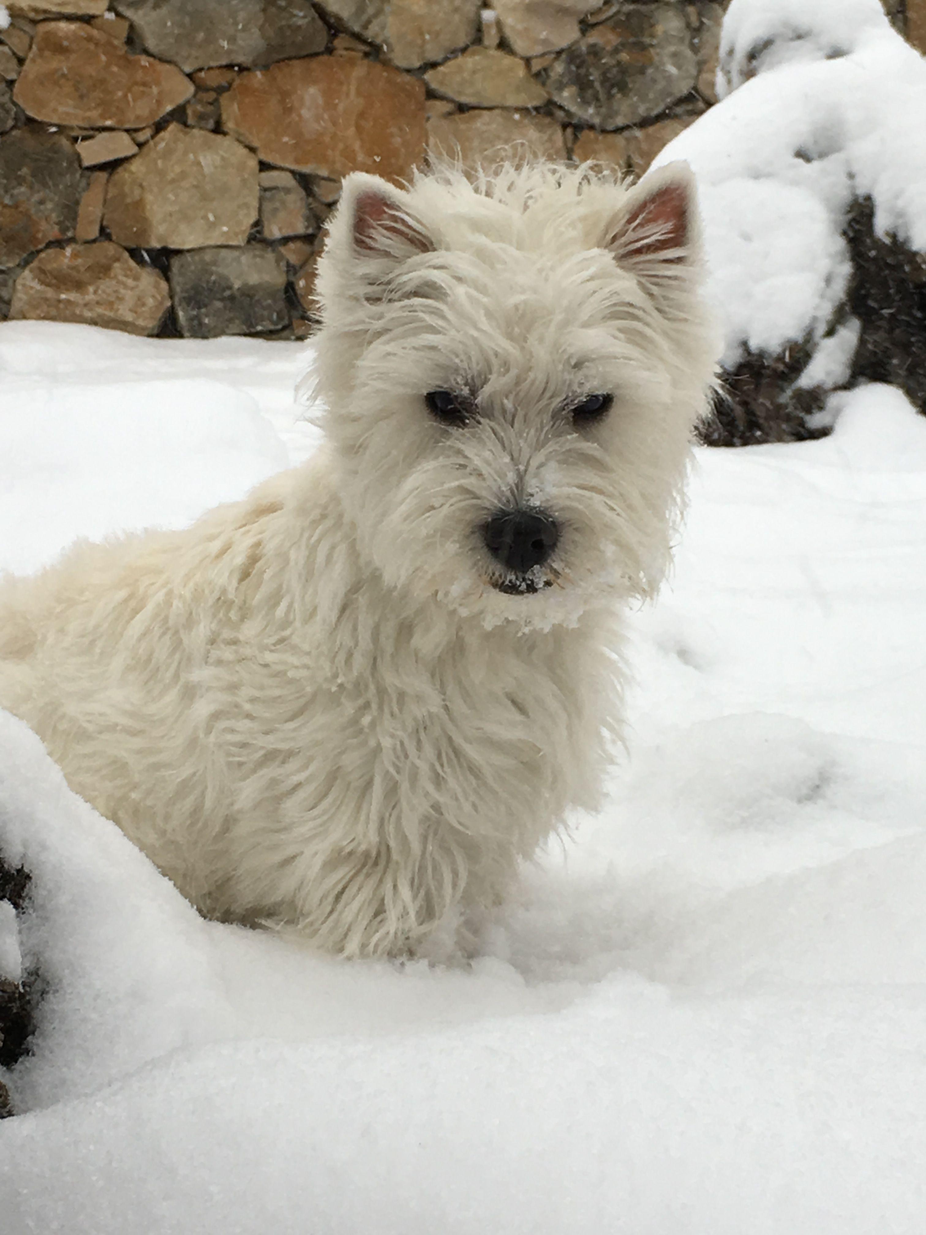 Westies Romy Puppy Chiot 6 Mois Westie Puppies Westies West Highland Terrier