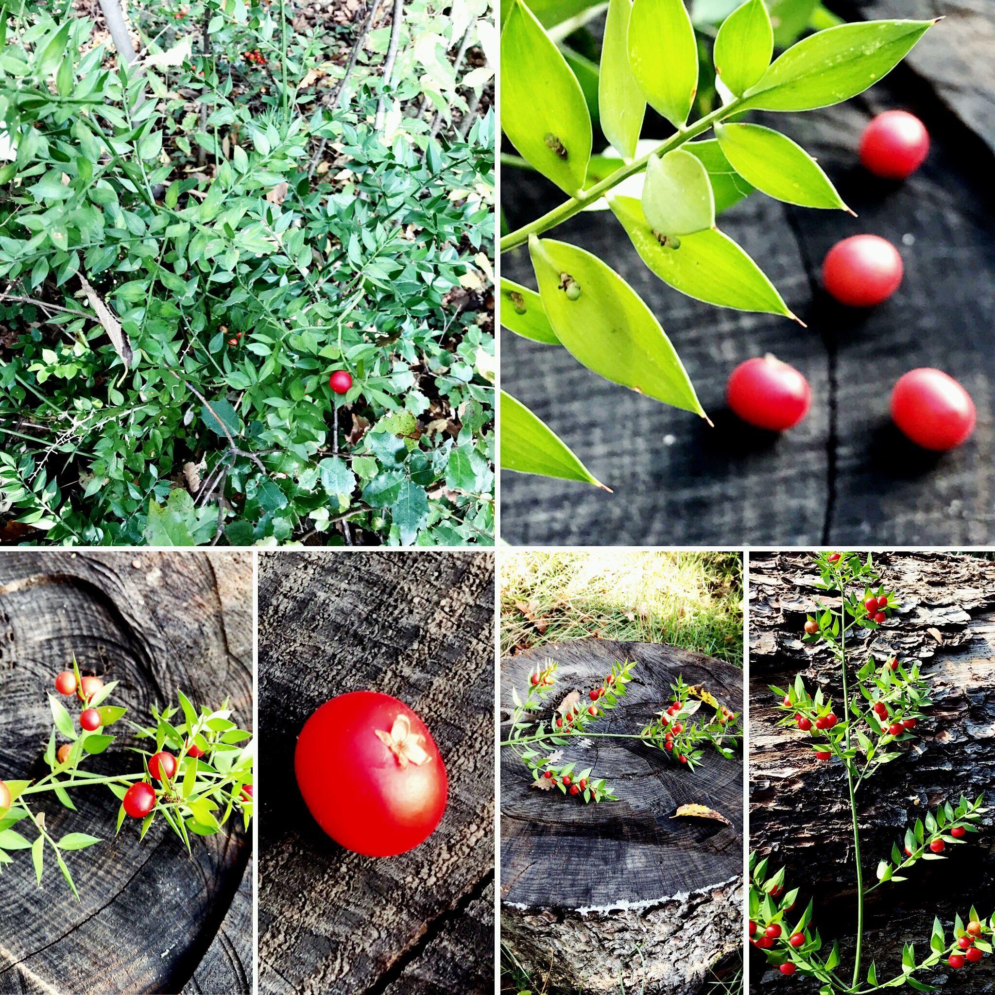 Comment Faire Une Pousse De Houx fragon petit houx (ruscus aculeatus) (avec images