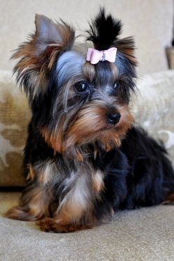 Teacup Yorkie Puppy A Gift Of Unconditional Love Yorkshire Terrier Puppies Yorkshire Terrier Teacup Yorkie Puppy