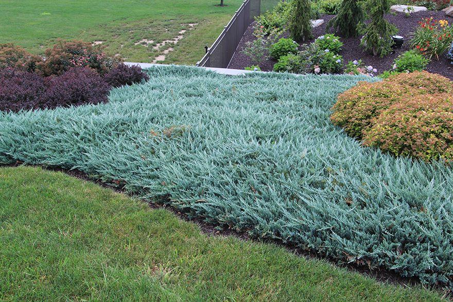Juniperus horizontalis 39 blue chip 39 blue chip juniper for Juniper house garden design