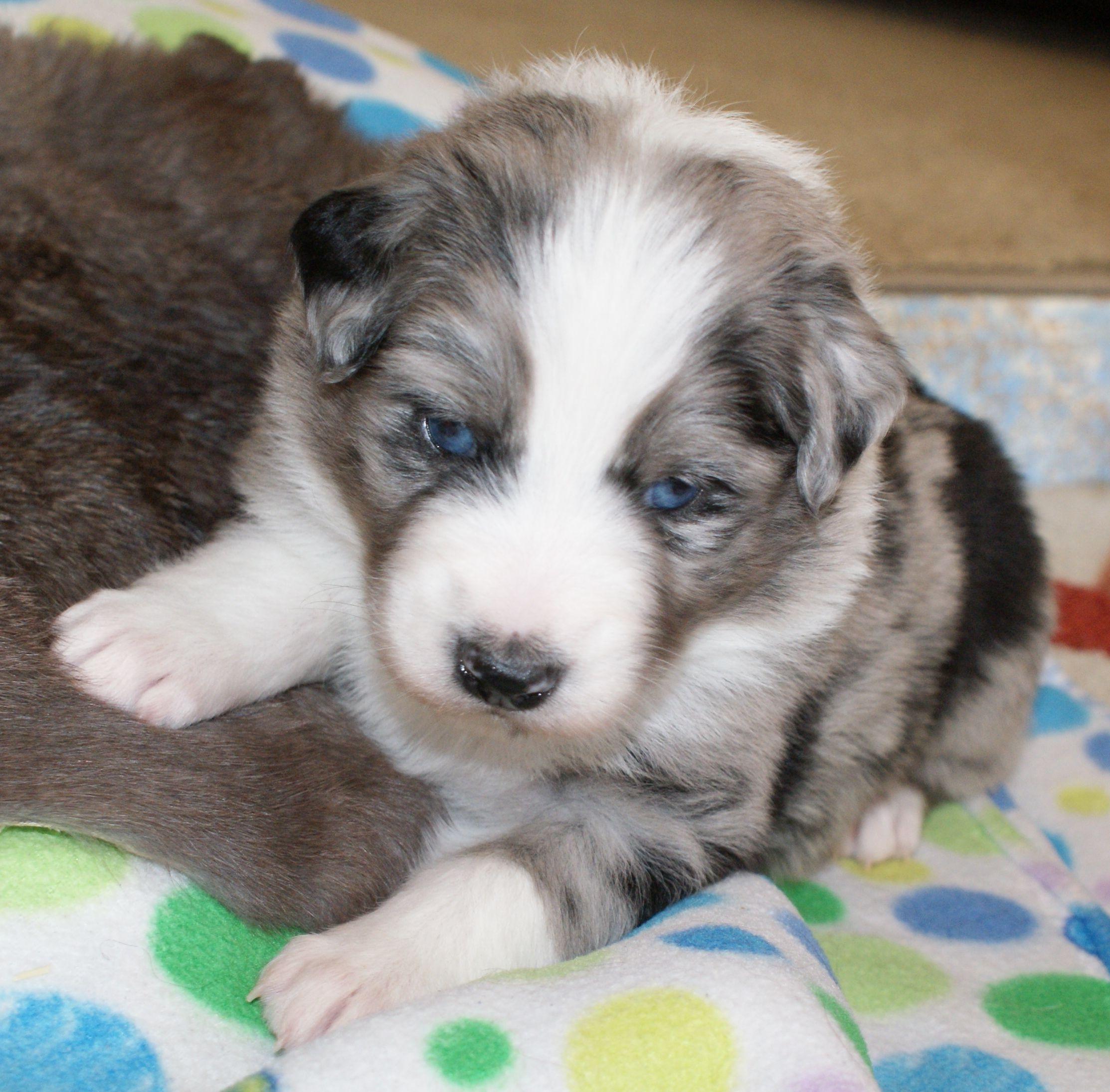 Blue Merle White Australian Shepherd Puppy Q Thermodynamic Of Imagineer Rd Cgc Dieren