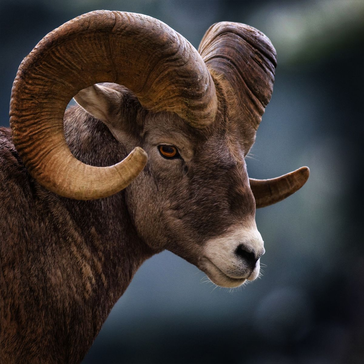 45+ Mountain Animals With Big Horns