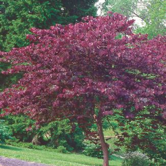 Judas Tree Udas Tree A Spectacular Cultivar With Deep Purple Heart Shaped Leaves An Ideal Tree For Small Gardens With Landscaping Plants Redbud Tree Plants