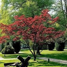 red dragon japanese maple trees - Google Search #japanesemaple red dragon japanese maple trees - Google Search #japanesemaple red dragon japanese maple trees - Google Search #japanesemaple red dragon japanese maple trees - Google Search #japanesemaple