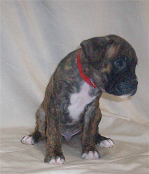 Litter Of 7 Boxer Puppies For Sale In Irving Tx Adn 55030 On Puppyfinder Com Gender Male Age 6 Weeks Old With Images Puppies For Sale Boxer Puppies Puppies