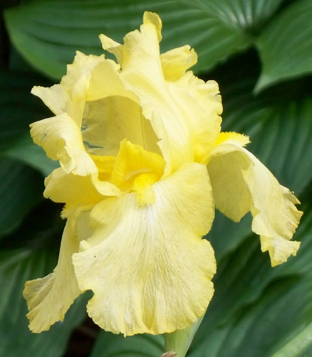 iris germanica 39 harvest of memories 39 precious perennials pinterest flower pansies and passion. Black Bedroom Furniture Sets. Home Design Ideas