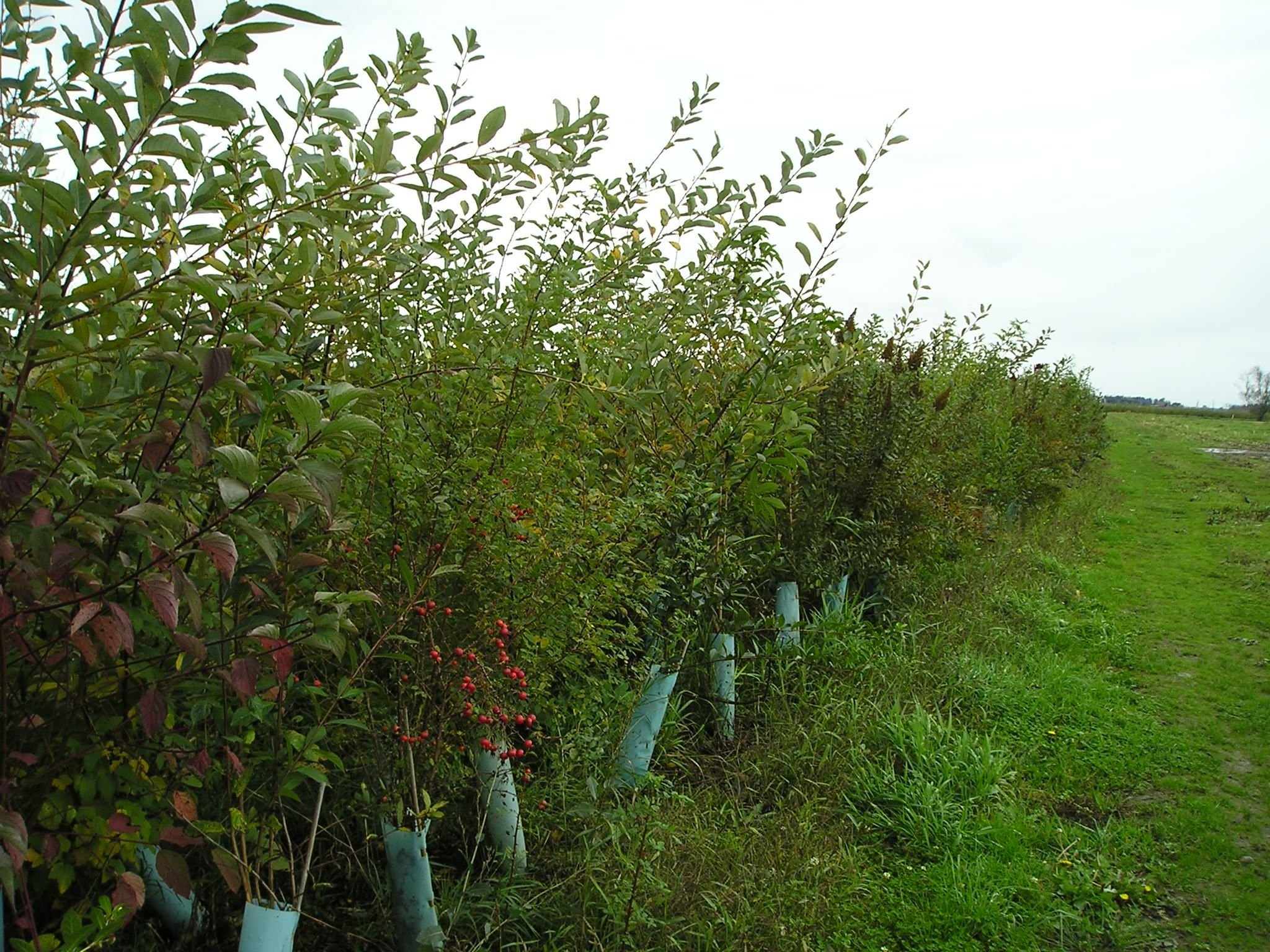Hedgerows More than a living fence (Good examples of PNW