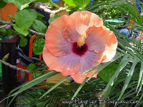 Pod Template Trees To Plant Hibiscus Rosa Sinensis Hibiscus