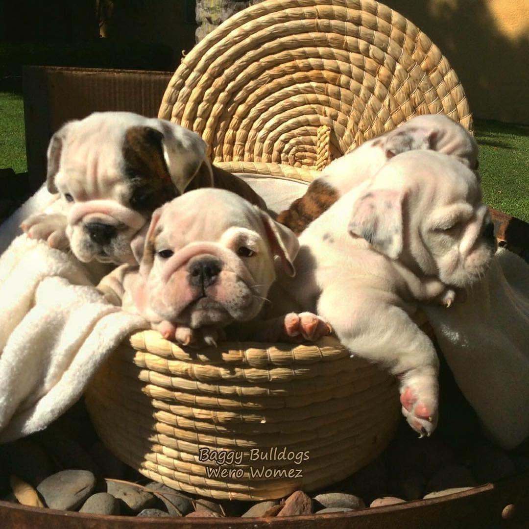 All About English Bulldogs Cute Bulldog Puppies Bulldog Puppies