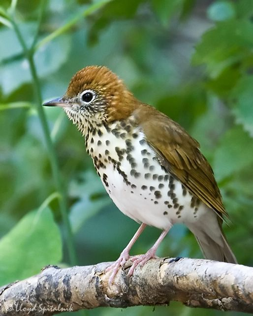 The Wood Thrush, Hylocichla mustelina, is a North American passerine bird. It is closely related to other thrushes such as the American Robin and is widely distributed across North America, wintering in Central America and southern Mexico. The Wood Thrush is the official bird of the District of Columbia.