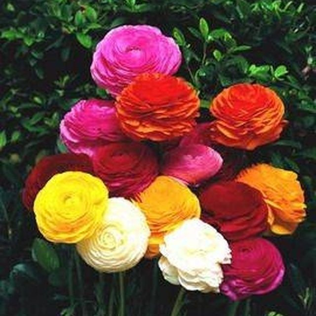 How To Grow Ranunculus In Containers Ehow Ranunculus Flowers Persian Buttercup Flower Seeds