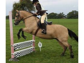 13.2 hh stunning and safe dun mare