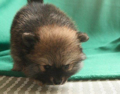 40 Precious Pomeranians You Ll Want To Carry Around In Your Pocket National Pet Day Pets Cute Pomeranian