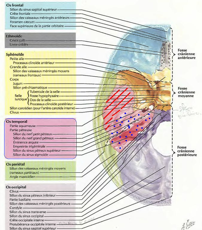 base du crâne | A CLASSER !!! | Pinterest