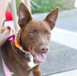 Adopt Coco On Petfinder Cattle Dogs Mix Australian Kelpie Dog Australian Kelpie
