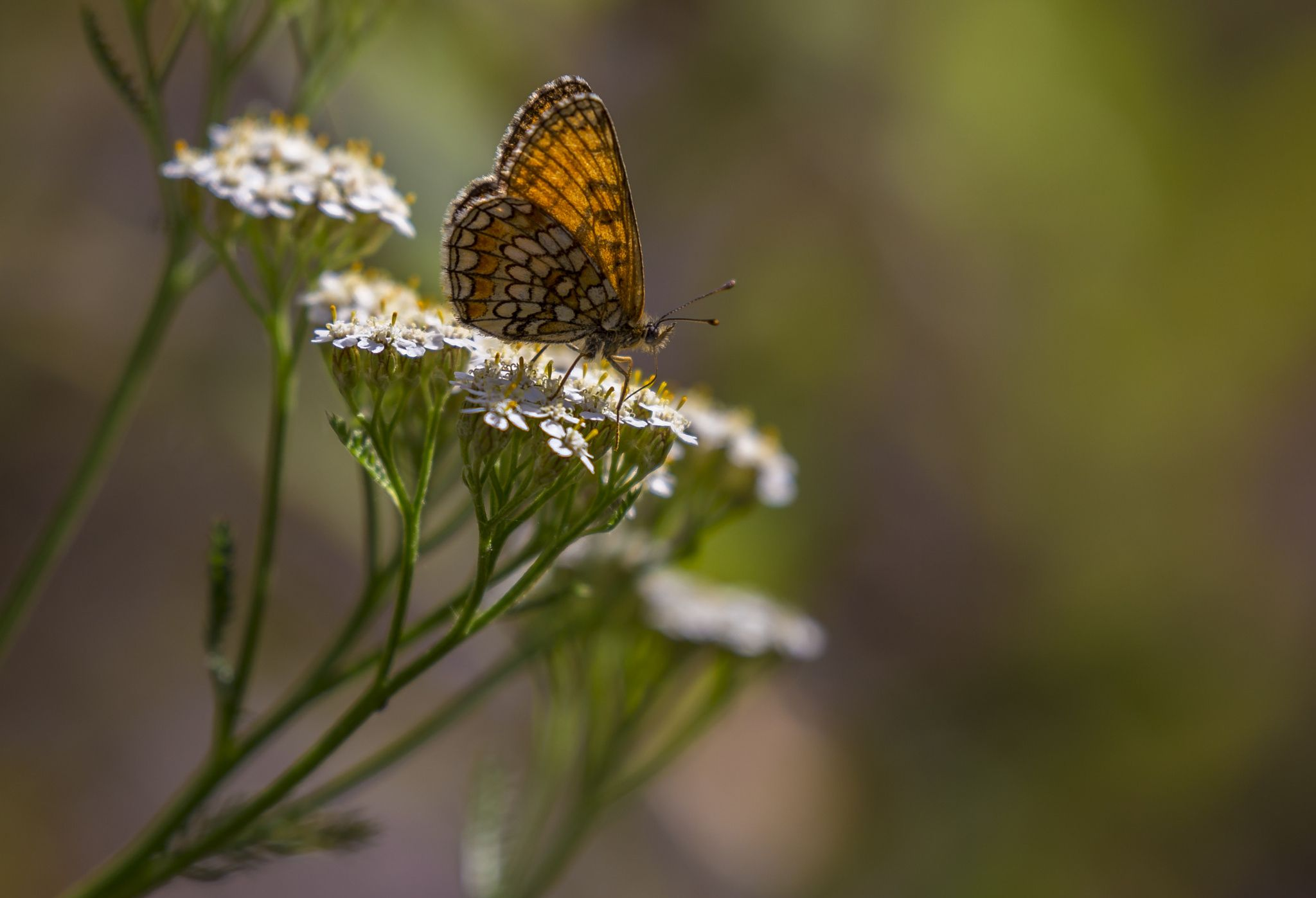 Heath fritillary by Arto Griinari on 500px