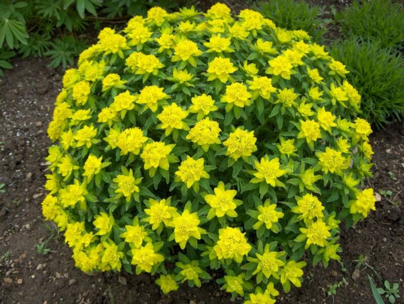 Euphorbia is tropical plants with a lot of species some of them flower mightylinksfo Images