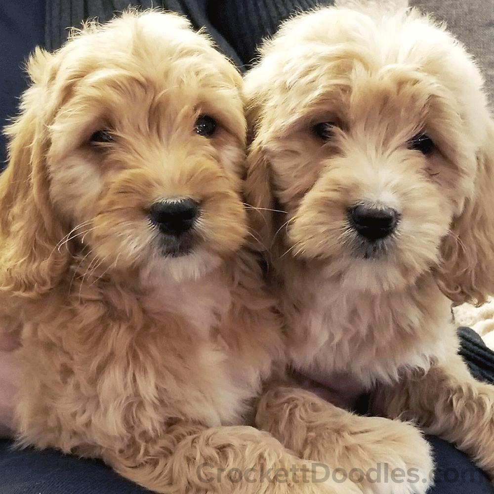 Double the trouble! #goldendoodles | Golden Doodles