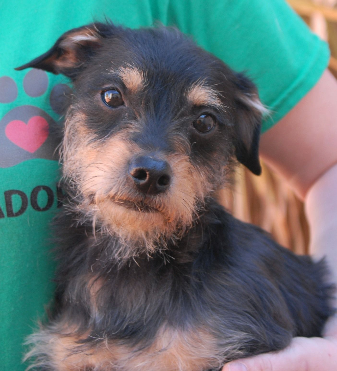 Kevin Is A Sensitive Youngster Who Cannot Comprehend Why Humans Have Hurt Him But While Terrified Of Strang Yorkshire Terrier Mixed Breed Puppies Dog Adoption