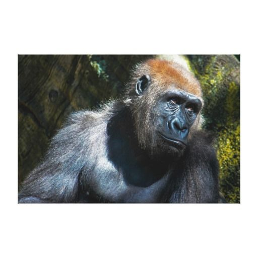 =>Sale on          	Gorilla Ape Primate Wildlife Animal Photo Canvas Print           	Gorilla Ape Primate Wildlife Animal Photo Canvas Print in each seller & make purchase online for cheap. Choose the best price and best promotion as you thing Secure Checkout you can trust Buy bestDeals        ...Cleck Hot Deals >>> http://www.zazzle.com/gorilla_ape_primate_wildlife_animal_photo_canvas-192882158113844113?rf=238627982471231924&zbar=1&tc=terrest