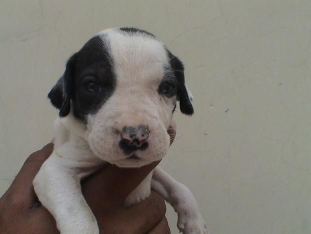 Bully Kutta Puppies Lahore Puppies Bullying Dogs