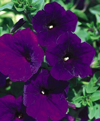 Deep Purple Petunias Spectac Purple Petunias Purple Flowers