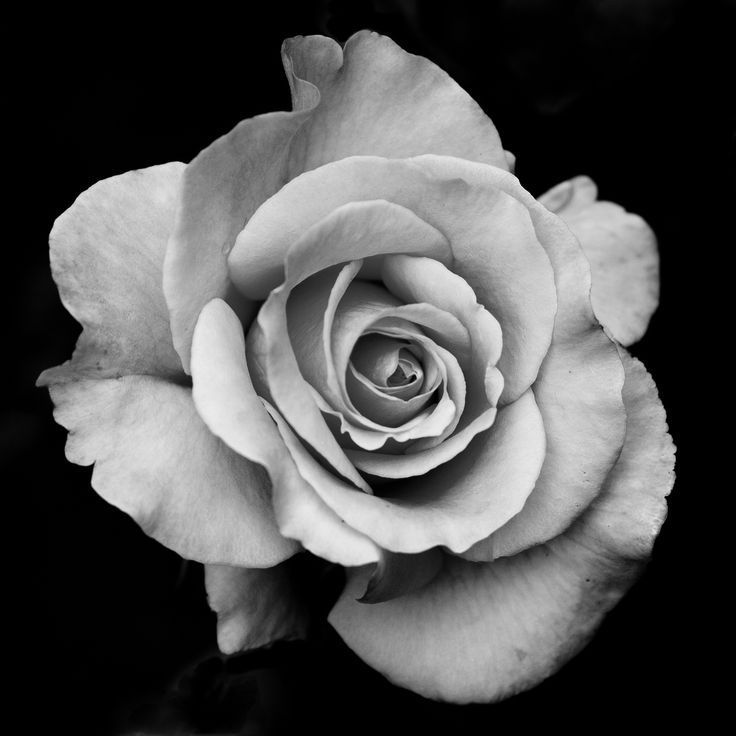 The 25 Best Rose Reference Ideas Rose Doodle in Anime Black And White Flower Garden   Roses ...