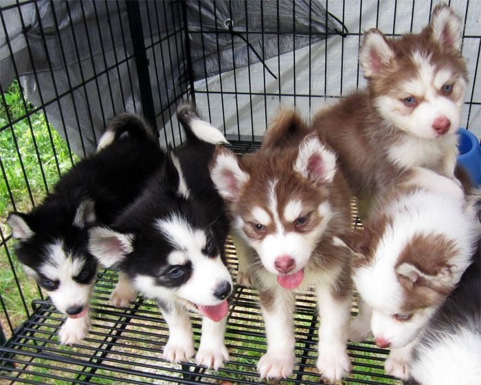 Red And White And Black And White Siberian Husky Puppies