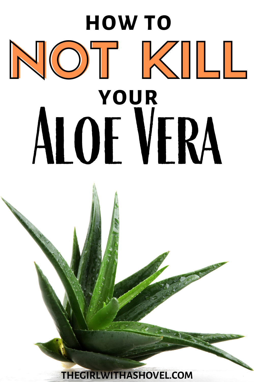 The 3 Keys To Aloe Plant Care Aloe Plant Care Aloe Plant Aloe Vera Plant Decor