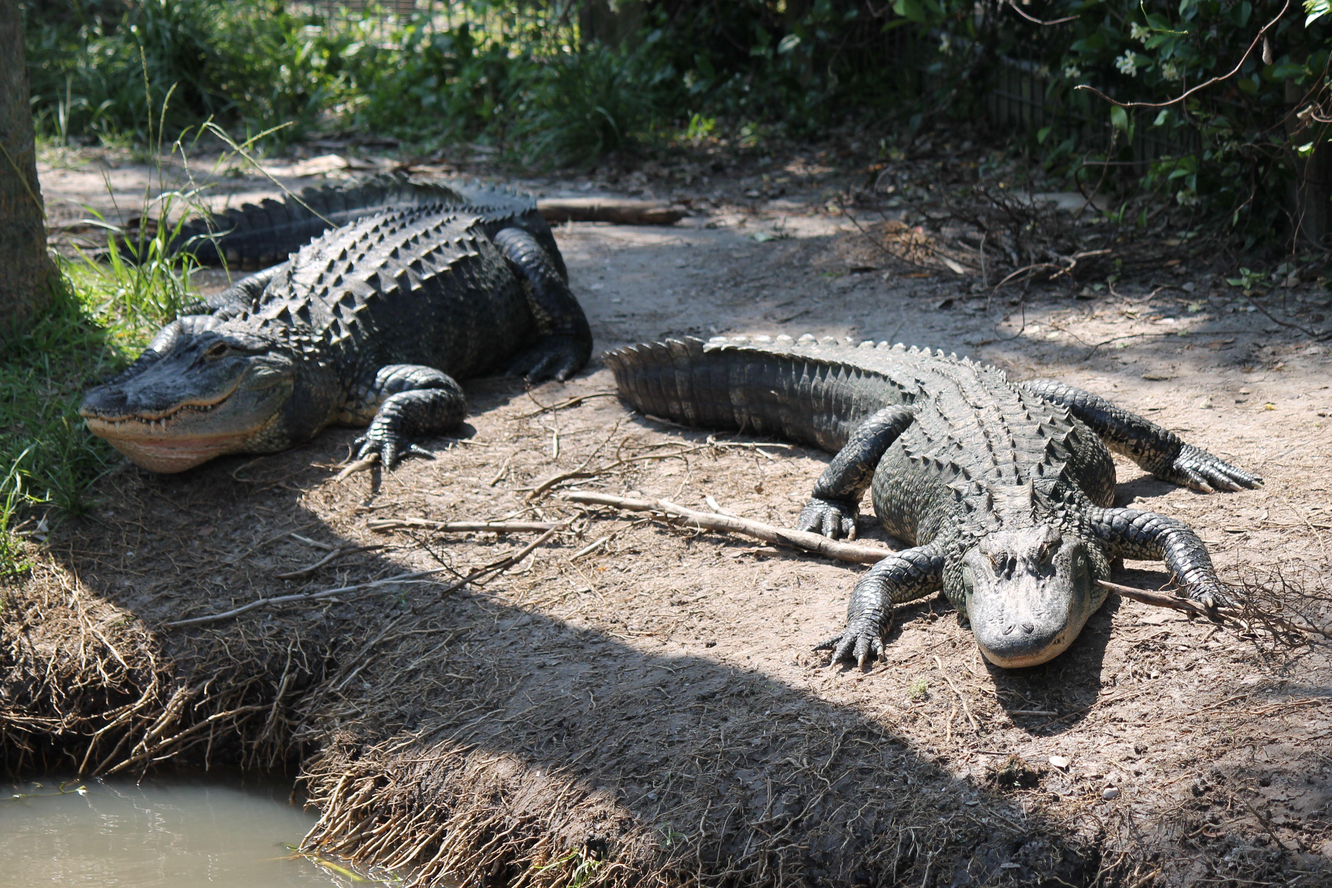Alligators at Wild Florida
