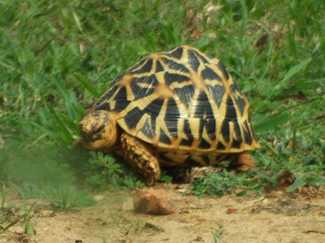 Star-shelled Tortoise