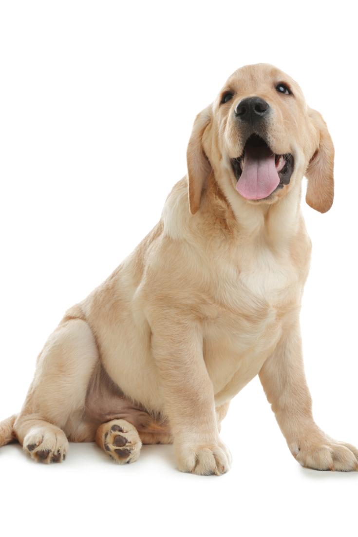 Cute Yellow Labrador Retriever Puppy Isolated On White Labradorretriever Labrador Retriever Labrador Golden Retriever Labrador