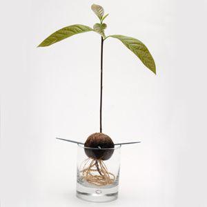 Strawberry Banana Oatmeal Avocado Plant Plants Grown In Water Avocado Tree