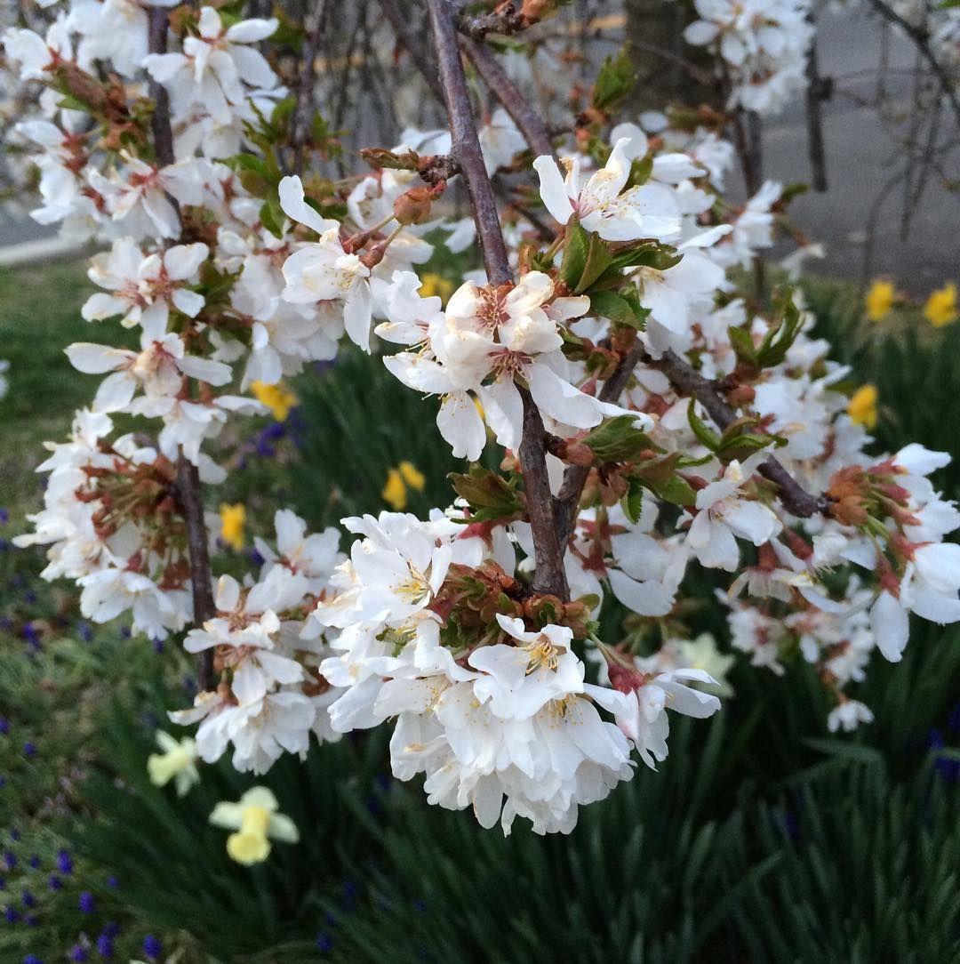 #InstagramELE #flores  Estas son las flores del árbol que tenemos en casa. Es un cerezo japonés que me regaló un estudiante cuando nos mudamos aquí. Era muy pequeñín hace doce años y ahora está que da gloria verlo. Fue un regalo estupendo.