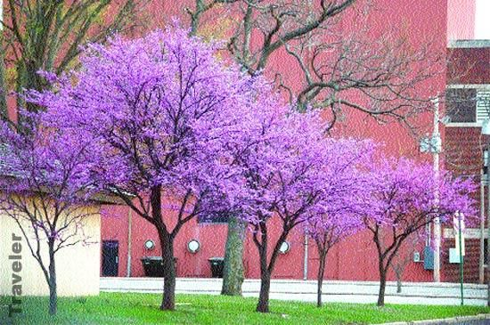 Texas Redbud Tree Growth Rate Site Design 2009 Theclearermessage