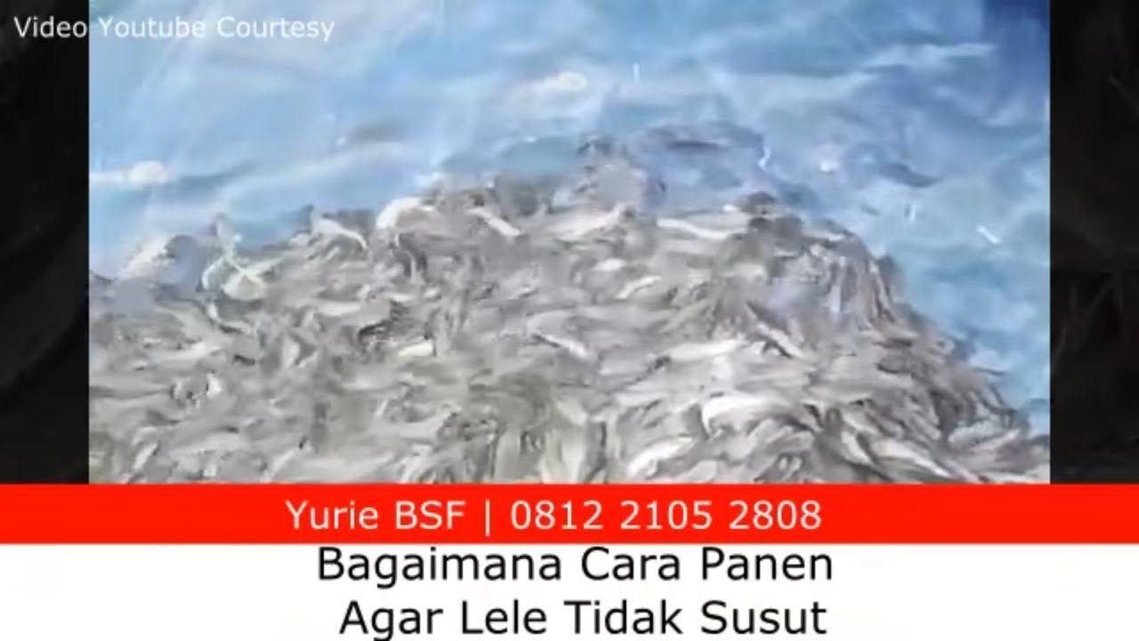Ternak Lele Cara Panen Ikan Yang Benar Agar Tidak Susut Saiki Cara Agar