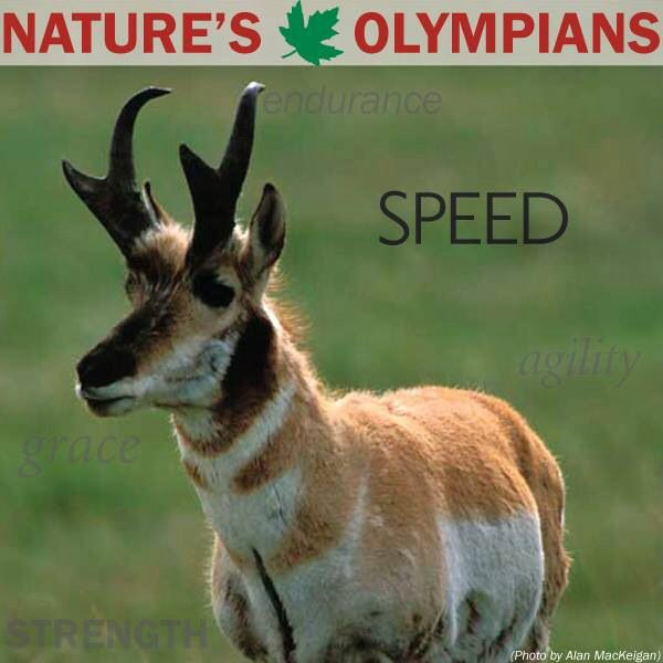 Pronghorn second fastest land animal next to the Cheetah.
