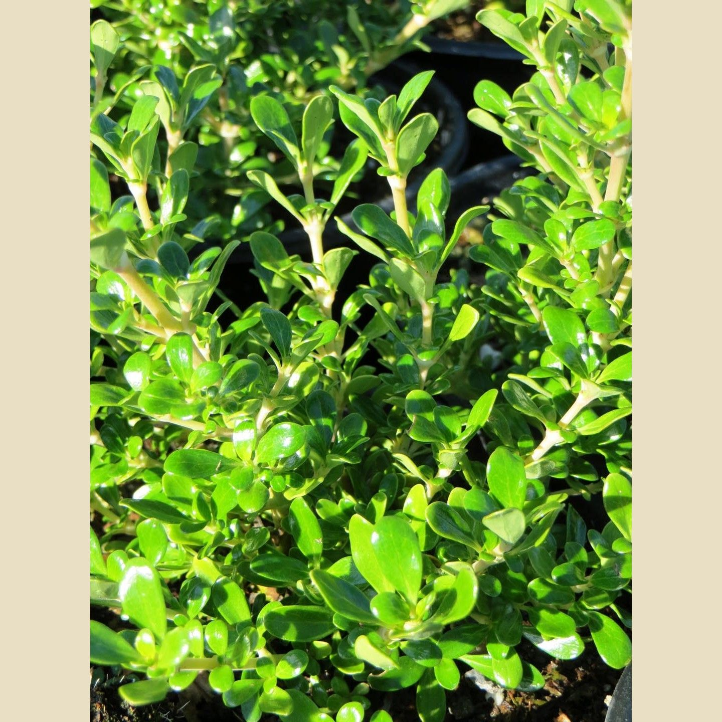 Picture of Live Creeping Coprosma aka Coprosma p. 'Verde Vista' Plant Fit 1 Gallon Pot