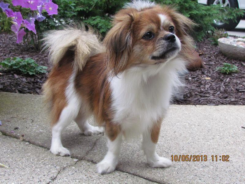 Adopt Sadie On Really Cute Puppies Tibetan Spaniel Pekingese Mix