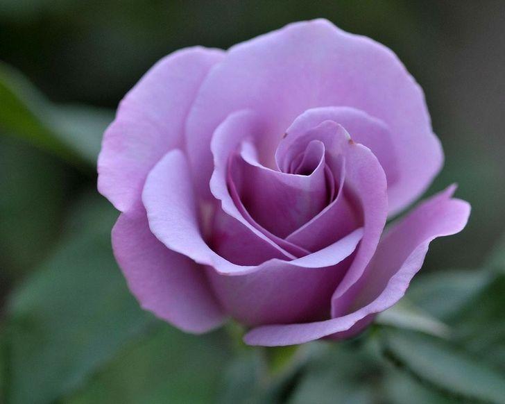 Purple Rose Flowers Flowers Purple Roses Purple Flowers