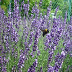 Hidcote Lavender Plant In Full Sun And Provide A Decent Well